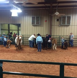 "Open PeeWee Class ""mini and regular sized cows - all ages"""