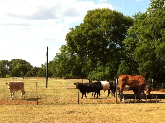 Our cows with our rescued horse Loverboy