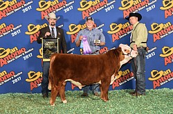 Our Registered Miniature Hereford Bull Zoro's Grand Champion Win